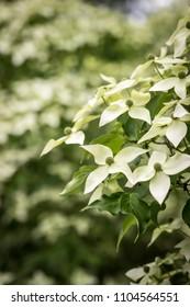 A White Kousa Dogwood tree with many flowers blossoming.
