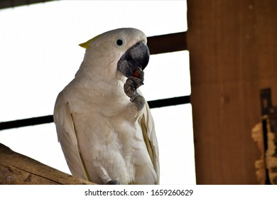 white krakatoa bird nibbling at its claw after meal