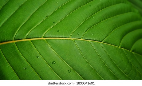 White kratom is increasingly taken instead of coffee (caffeine) for alertness, concentration and cheerfulness.