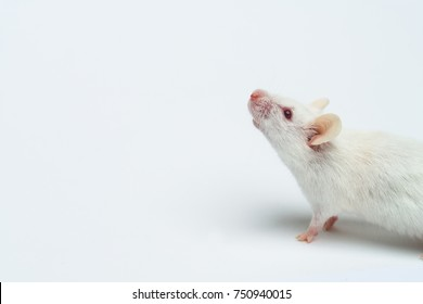 White lab mouse albino close-up, on white background