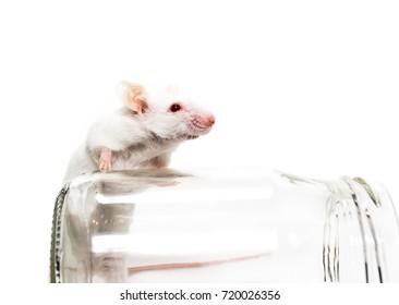 White laboratory mouse, glass jar