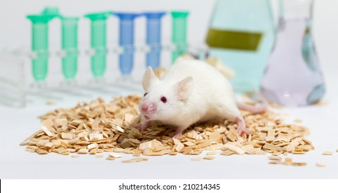 White laboratory mouse, with glasware and animal bedding, shallow depth of field