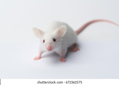 White laboratory mouse running on white background, close-up