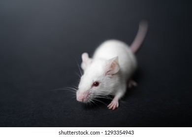 white laboratory rat isolated on grey background.