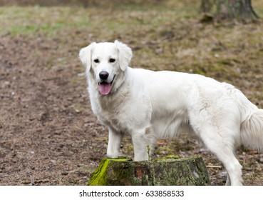 White labrador behind the stump