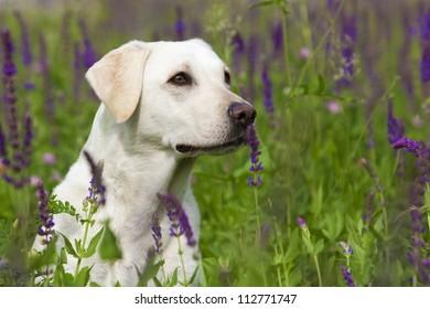 White Labrador Female Portrait