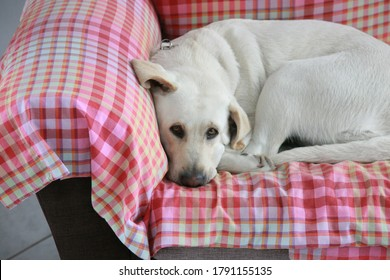 A white labrador laying down on a sofa with a red and white pattern