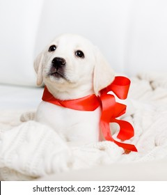 White Labrador puppy with red ribbon on his neck is lying on the white leather sofa