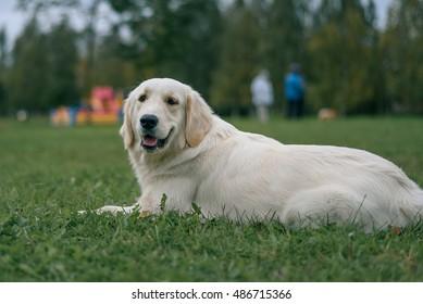white Labrador Retriever lying on the green grass in the Park