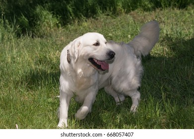 White labrador retriever in motion.