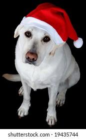 White labrador retriever with red Santa Claus hat on black background.