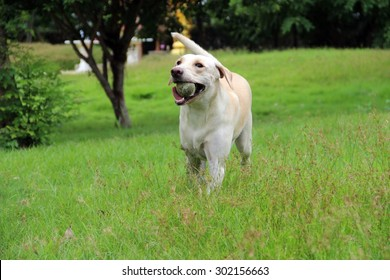 White labrador is running  happily with her ball on the fresh green field of public garden / Happy labrador dog
