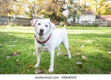 White labrador standing outside