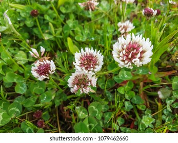 White or ladino clover, Trifolium repens, growing in Galicia, Spain