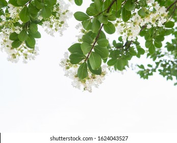 White lagerstroemia or crape myrtle  with green leaf on white  background