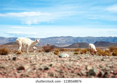 White Lama family, mother with calf, looking up curiously in the deserts of northern argentina. Andes in the background.