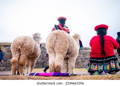 White lamas near women in national clothes in Sacsayhuaman, back view