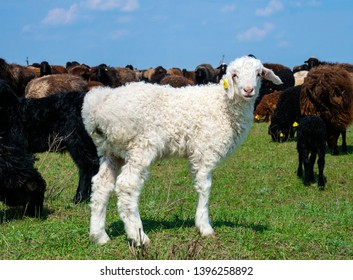 White lamb and flock of sheep