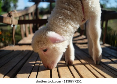 White lamb on wooden floor, close up.