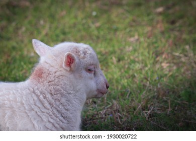 White lamb resting crouched in a meadow.