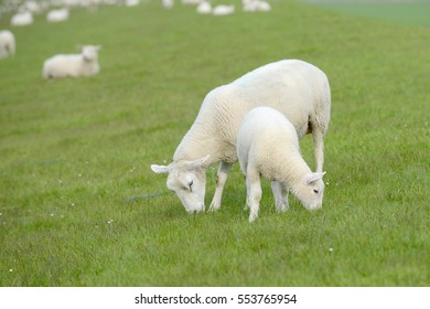 white Lamb and Sheep graze on Meadow