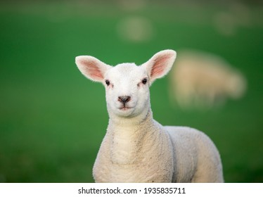 White lamb standing and looking