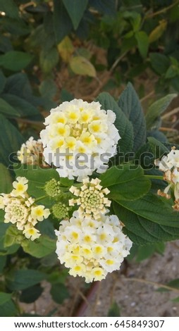White lantana camara flowers small perennial stock photo edit now white lantana camara flowers it is a small perennial shrub with smalls tubular shaped flowers mightylinksfo