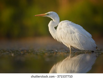 White large heron,Great Egret Egretta alba,bird with huge orange bill on the prowl, standing in the calm, cold,misty water, mirroring silhouette, colorful orange and green autumn. Blurred background.