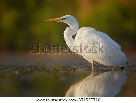 Great Egret On Prowl >> White Large Heron Great Egret Egretta Albabird Stock Photo Edit Now