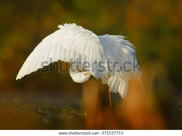White large heron,Great Egret Egretta alba,bird with huge orange bill, cleaning feathers, standing in the calm water mirroring colorful orange and green autumn vegetation. Blurred colorful background.