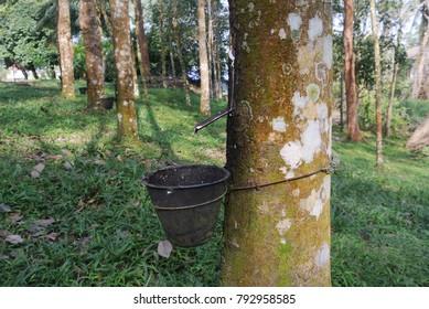 white latex tree rubber