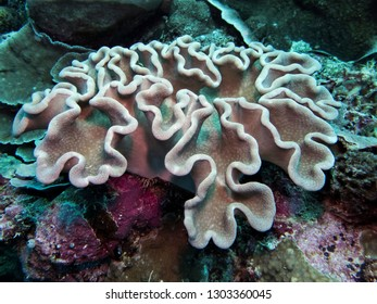 White leather soft coral close up underwater in Pacific ocean in Palau Micronesia.