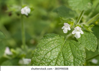 White lemon balm flower in green field