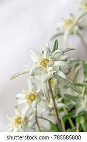 White Leontopodium nivale, edelweiss mountain flowers, close up.