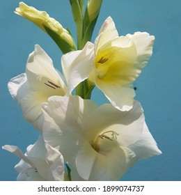 White gladiolusflower, São Leopoldo, Brazil