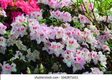 White light pink azalea flowers. Horizontal closeup image of Rhododendron. Season of flowering azaleas. Pink Azalea Flowers in the small garden