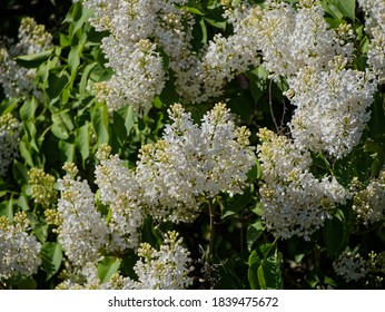White lilac in bloom. Or bird cherry. Parks Of Saint-Petersburg.