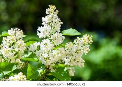 White lilac blossom branch spring. Spring blooming white lilac flowers. White lilac flowers in bloom. White lilac