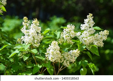 White lilac blossom branch view. Spring white lilac branch