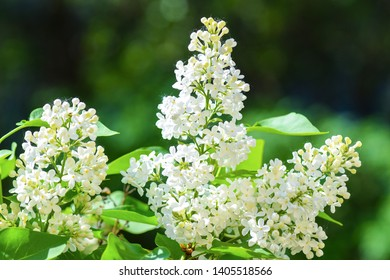 White lilac blossom spring view. Spring bloomin white lilac flowers. White lilac flowers view