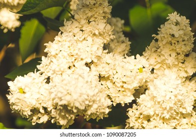 White lilac branches