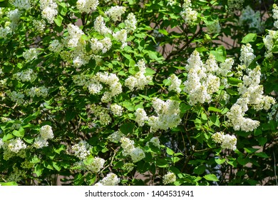 White lilac bush flowers in spring. Spring blooming white lilac flowers. Blooming lilac blossom. White lilac blossom bloom