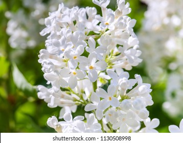 White lilac bushes in the garden