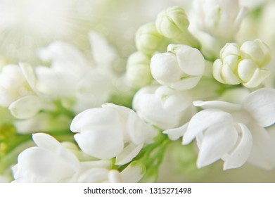 white lilac flower bunch macro background