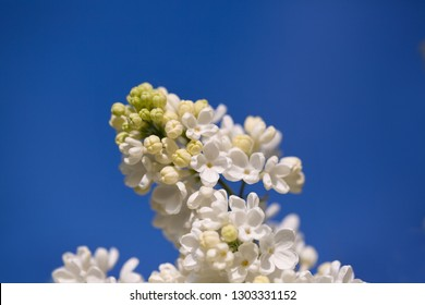 white lilac flowers