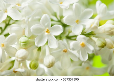 white lilac flower images stock photos vectors shutterstock