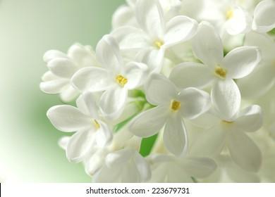 White lilac flowers  background / white lilacs macro / spring flower / syringe vulgaris