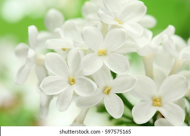 White lilac flower images stock photos vectors shutterstock white lilac flowers background white lilacs macro spring flower syringe vulgaris mightylinksfo