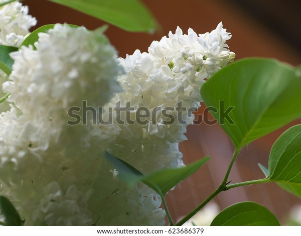 White lilac flowers with buds for a background, spring garden, syringe vulgaris.