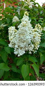 White Lilac flowers on a bush. Syringa clusters of pure white flower & heart-shaped leaves. Lilac buds starting to open. Dense panicles of tiny, pure white flowers / florets in clusters of the lilac.
